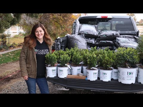 Planting a Hedge of Sprinter Boxwoods 🌱// Garden Answer