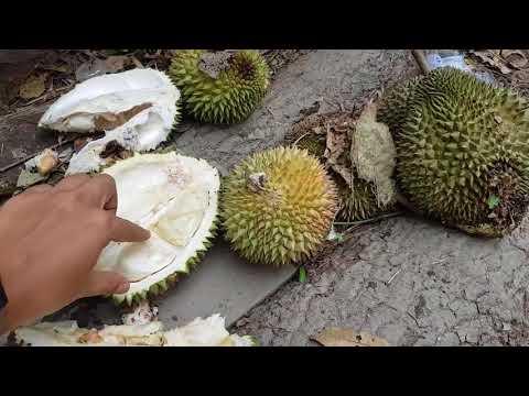 Belah Duren Durian Jatuh
