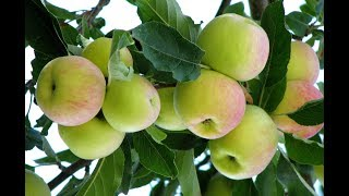 Apple garden in kashmir, apple orchard is available in srinagar and pahalgum! lve kashmir