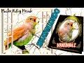 Suara Sikatan Londo Lokal Full Isian Untuk Masteran Dan Pancingan  Mp3 - Mp4 Download