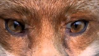 Transformation Into Fox! Subliminal Frequency Hypnosis Binaural Beats
