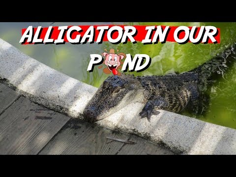 Daddy Goes to Work & Comes Home to Wild ALLIGATOR!!!!!!