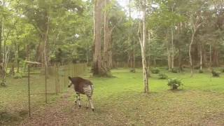 Maiko NP - Rare Encounters With The Okapi