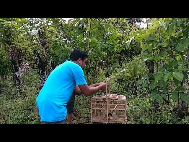 Tangkap burung ciblek pakai Kandang Perangkap, bird trap
