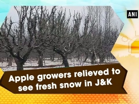 Apple growers relieved to see fresh snow in J&K - Jammu and Kashmir News