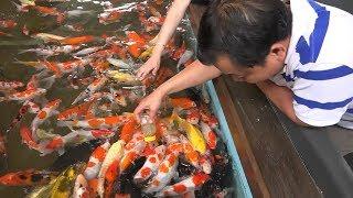 Đàn CÁ KOI tiền tỷ biết BÚ BÌNH như em bé ở Sài gòn   The Koi fish coffee shop in Vietnam