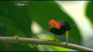 The moonwalking Manakin bird