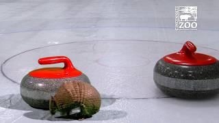 Cincinnati Zoo Animals (Through Video Magic/Green Screen) are Curling Fans #TeamShuster