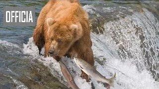Медвежья охота рыбной ловли и охоты видео HD 2017  медведь напал на человека видео