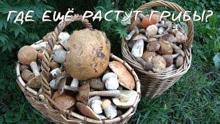 Влог. Где растут грибы #2. Белый гриб, подосиновики, подберезовики, лисички.