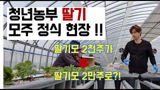 청년농부 딸기 모주 육묘현장 방문! /귀농작물/딸기육묘