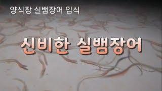 실뱀장어 양식장 입식