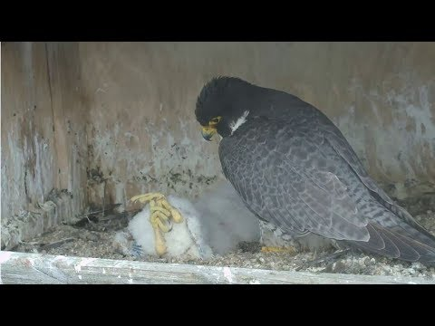 Great Spirit Bluff Falcon Cam ~ Two Eyasses Die; Michelle Grieves 5.23.17