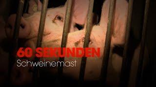 60 Sekunden über Schweinemast In Deutschland PETA