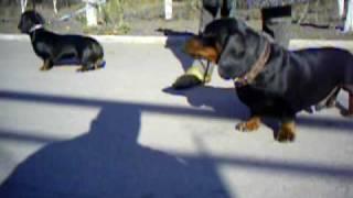 Такса! Доставим щенка в любой город! http://dog-service-lg.narod.ru