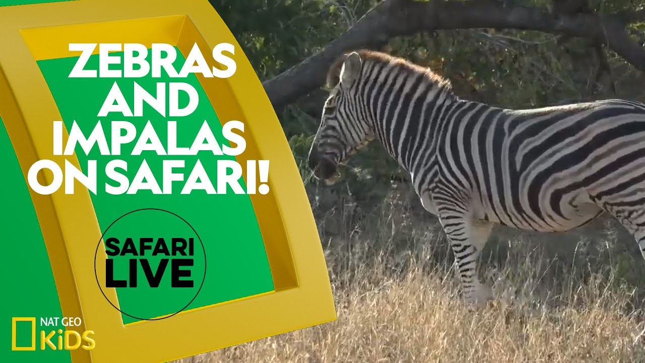 Zebras and Impalas on Safari! | Safari Live