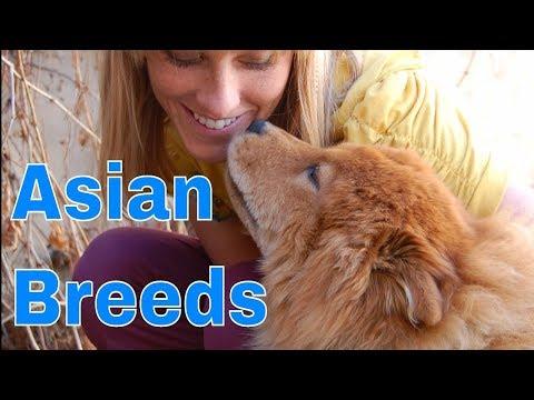 Pavlov Q&A!  Training Asian breeds: chow chow, akita, shiba inu