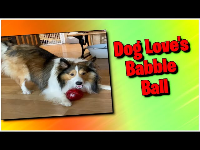 Dog Loves Babble Ball || Sheltie Playtime || Dog Plays with Ball #shorts