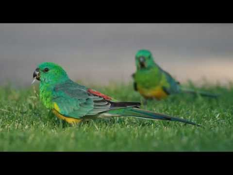 Red Rumped Parakeet Bird Call Bird Song