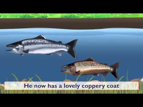 Fish: Salmon Fish At Sea And Fish Spawning - Something Fishy: Kids Lesson 6