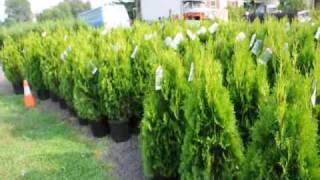 'Emerald Green' arborvitae trees  Spacing for Grower in Md
