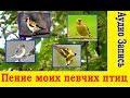 Пение моих певчих птиц Аудио Запись mp3