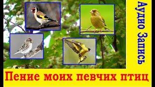 Скачать Пение моих певчих птиц Аудио Запись