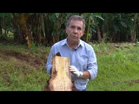 Cultivo e Produção de Banana