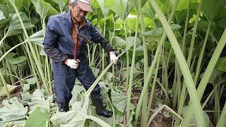のびのび青々特産フキ 釧路市音別で収穫 (2019/06/11)北海道新聞