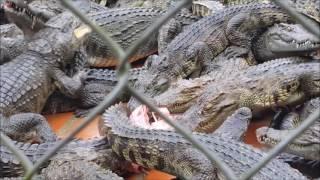 Крокодиловая ферма в парке Янг Бей (Нячанг, Вьетнам).