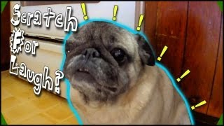 Funny Pug Gets Clever