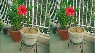 How to grow Hibiscus/Gudhal plant in a pot