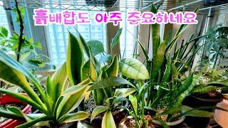 공기정화식물 산세베리아…