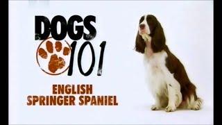 Порода собак Английский спрингер спаниель