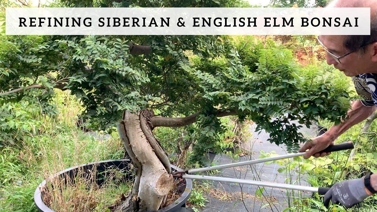 Refining Siberian English Elm Bonsai Youtube
