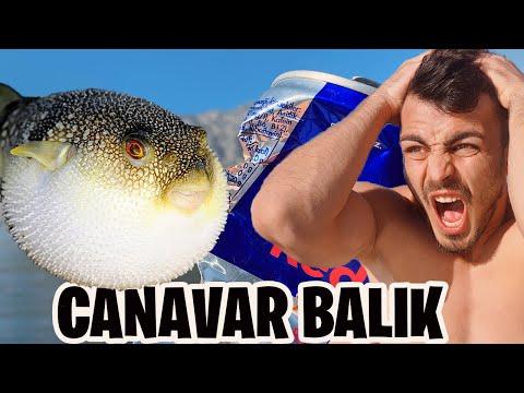 CANAVAR BALON BALIĞI YAKALADIK!! (DEMİR YİYOR)