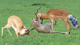 Leopard Knocked Down Impala Baby. Wild life is harsh