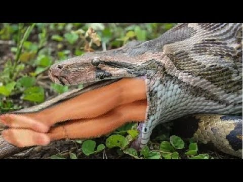 TOP 10 Giant Snakes Eat People,These Snakes Have Strength And Unmatched Dining || HD