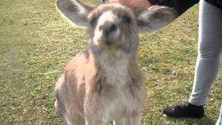Australia, Petting Wild Grey Kangaroos