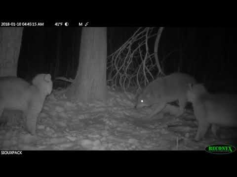 2 Bobcats vs Coyote (turn the volume up)