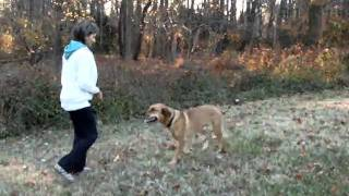 Dog Trainin, Training Rottweiler Dog Maryland Off Leash With Hand Signals And Verbal Commands