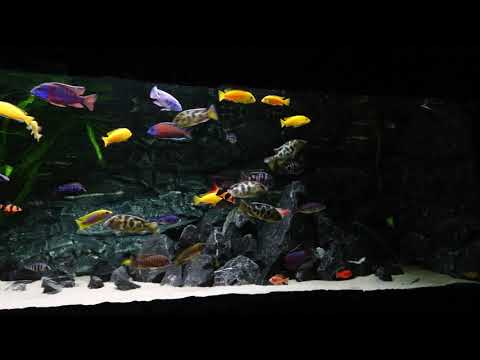 Malawi Cichlids Aquarium. 1400 Liter( 370g)