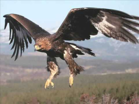 Golden Eagles Flying Wallpaper Nature Slide Show - Ha...