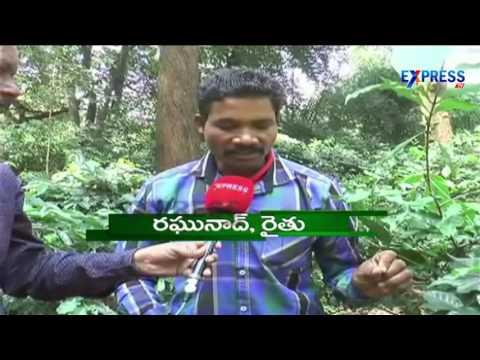 Coffee farming brings smiles in tribal farmers of Visakha Agency | Paadi Pantalu - Express TV
