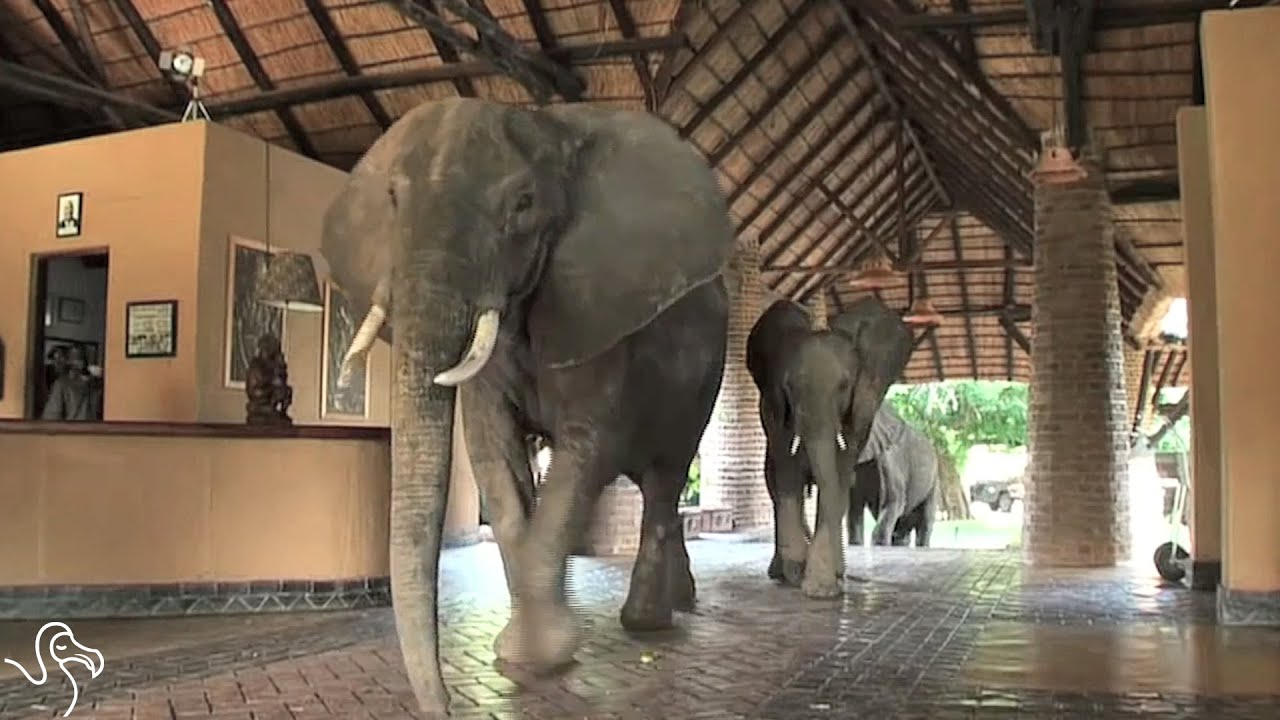 Elephants Cut Through Hotel Lobby To Get To Mango Tree Watermelon Wallpaper Rainbow Find Free HD for Desktop [freshlhys.tk]