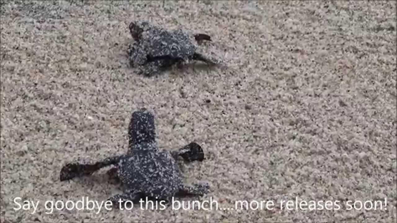 Baby Sea Turtles Released In Todos Santos Youtube