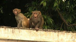 India's monkey men keep marauding macaques at bay