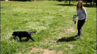 Black Labrador Puppy Lea: Nature Research / Black Labrador Retriever