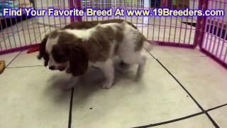 Cavalier King Charles Spaniel, Puppies, For, Sale, In, Cincinnati, Ohio, Oh, Westerville, Huber Heig