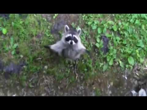 Енот полоскун: описание с фото и веселыми видео, почему он